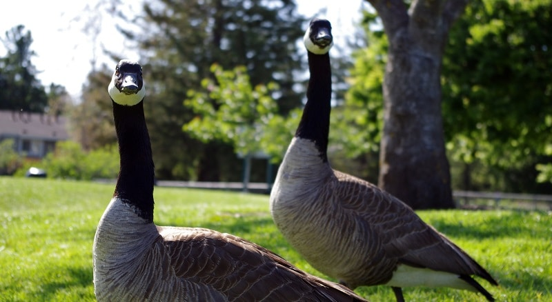 Canadian Geese lawn problems