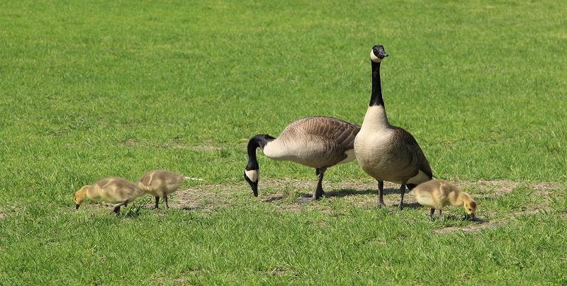 How to Keep Geese Off the Lawn
